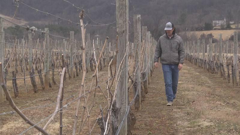 Carrington King of King Family Vineyard checking vines on the property.