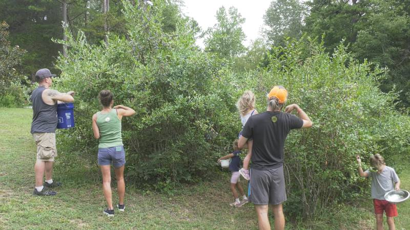 Groups are working together to pick blueberries for the BRAFB