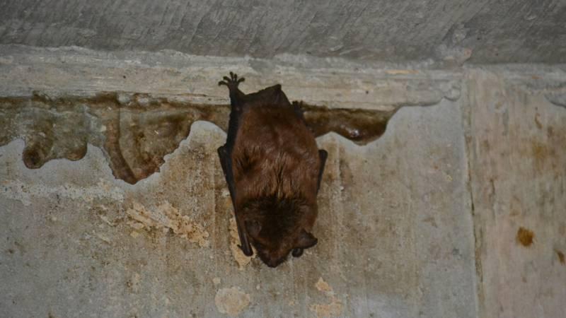 Picture of a bat under a bridge.