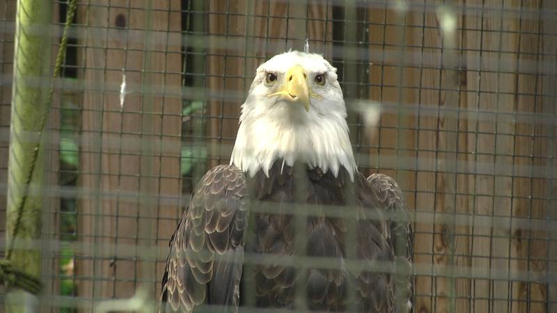 Buddy the bald eagle lives at the Wildlife Center of Virginia in Waynesboro, VA.