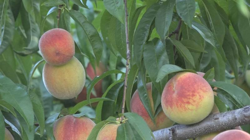 Valley farms are seeing the effects of smaller rain amounts in different ways