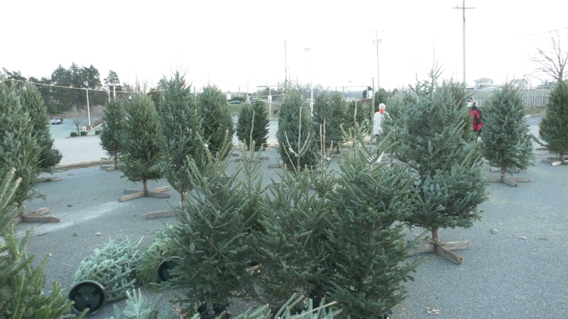 Cason's Christmas Trees in Albemarle Square