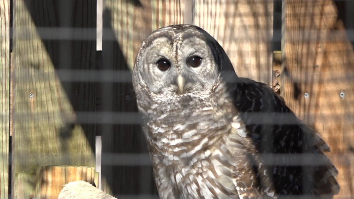 An owl at the Wildlife Center of Virginia.