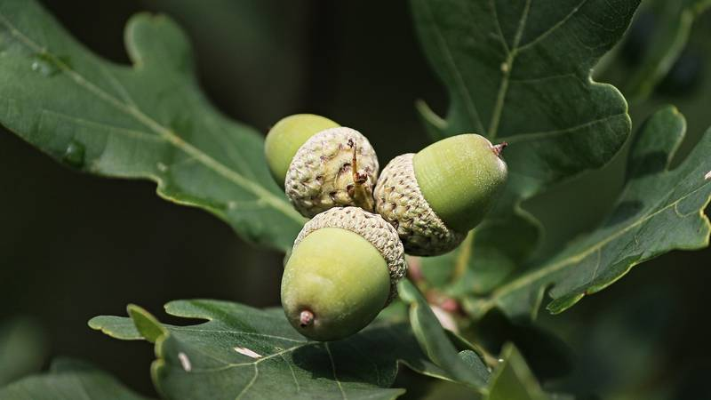 The Virginia Department of Forestry is asking for acorns that may be sitting in your own yard.