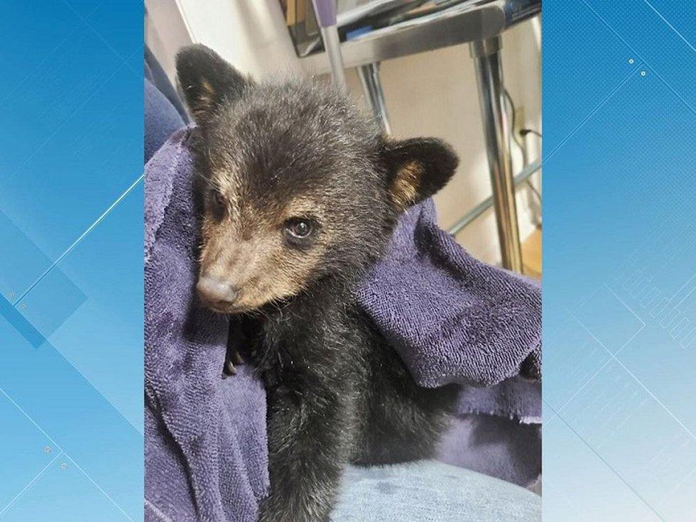 Rescued American black bear cub