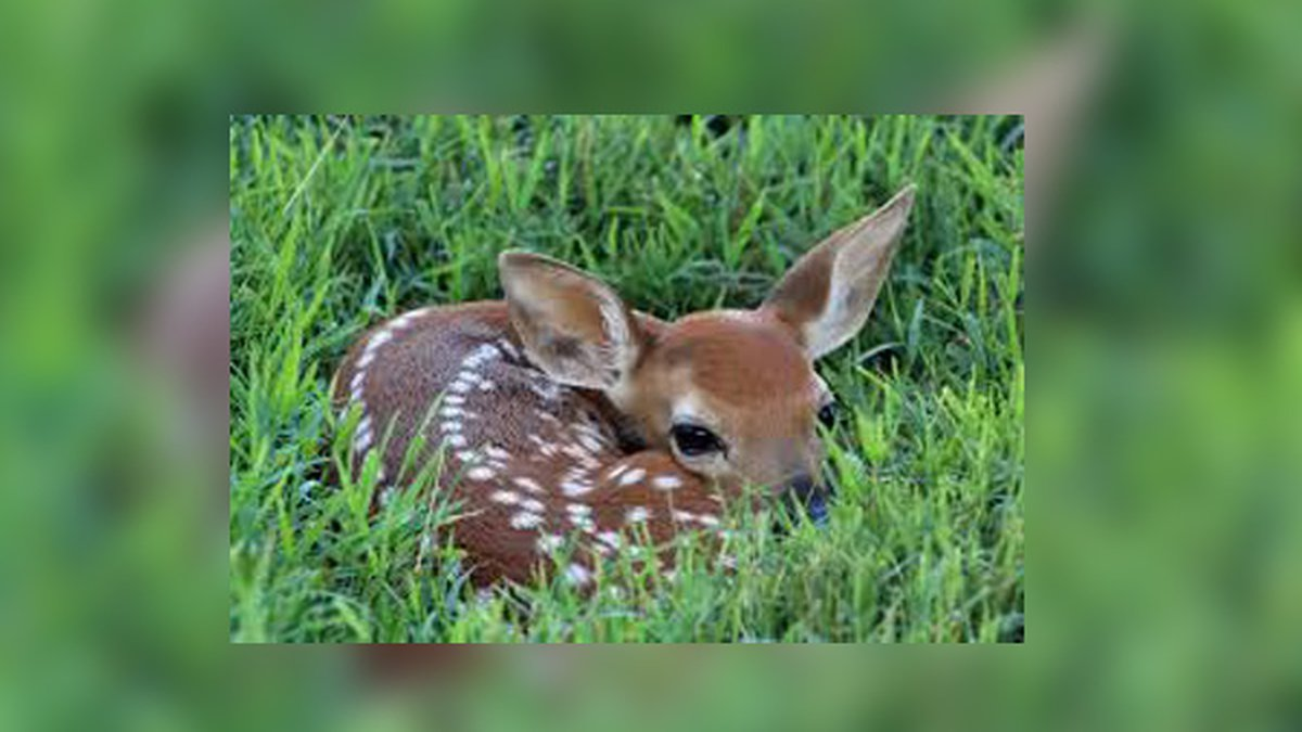 Don't fret about motherless fawns in your yard this summer, she'll be back for it.